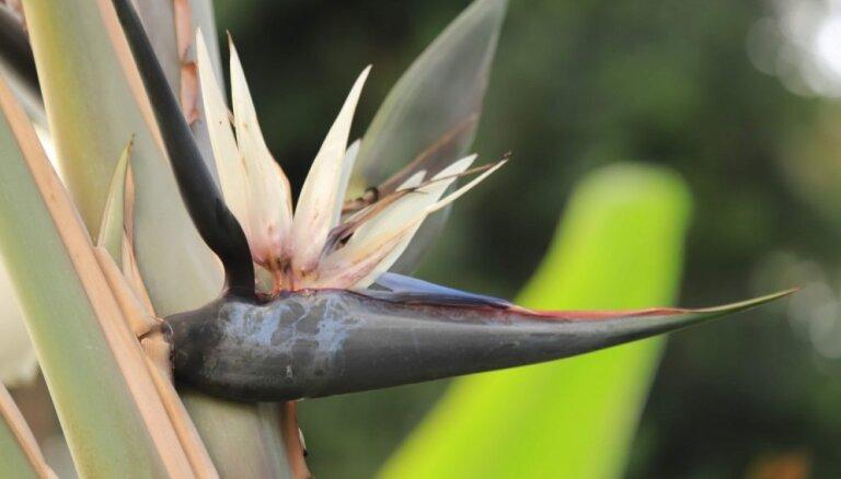 Foto: LU Botāniskajā dārzā uzziedējis baltais paradīzes putns – strelīcija