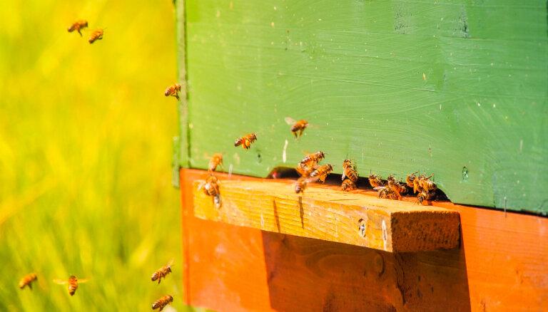 No Rīgas Latviešu biedrības nama izvietotajiem bišu stropiem ievākti 65,6 kilogrami medus