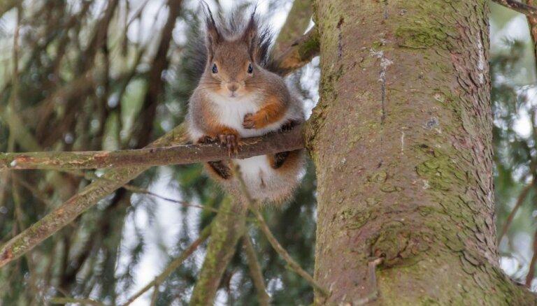 Astoņos gados Rīgas mežos plāno izcirst 61 000 kubikmetru koku