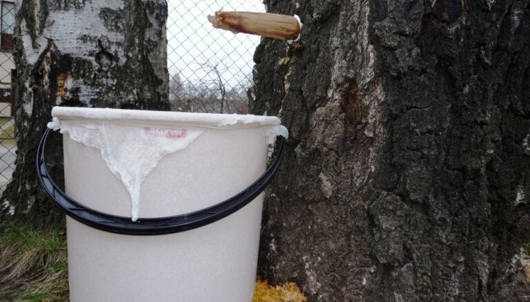 Latvijas valsts meži: в лесах воруют березовый сок, штраф - до 700 евро