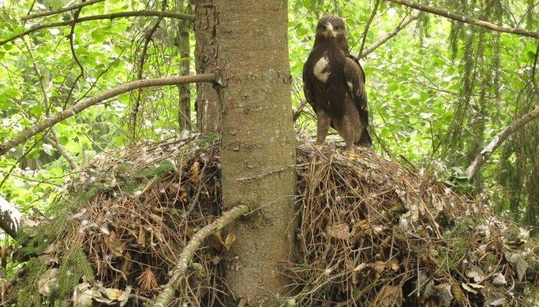 Cipars vai ērglis: mikroliegums aizsargājamam putnam līdzi nes strīdīgu kompensāciju