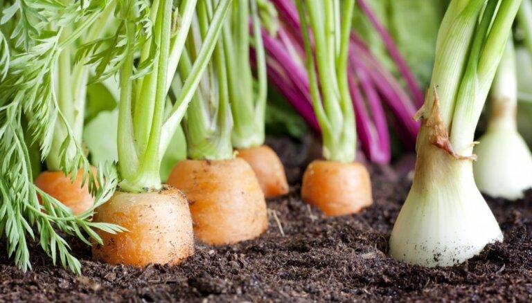 Labākie kaimiņi dobē – kādus augus vislabāk audzēt blakus