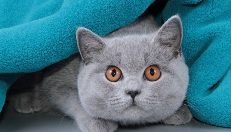 Piemīlīgais 'plīša lācītis' – britu īsspalvainais kaķis