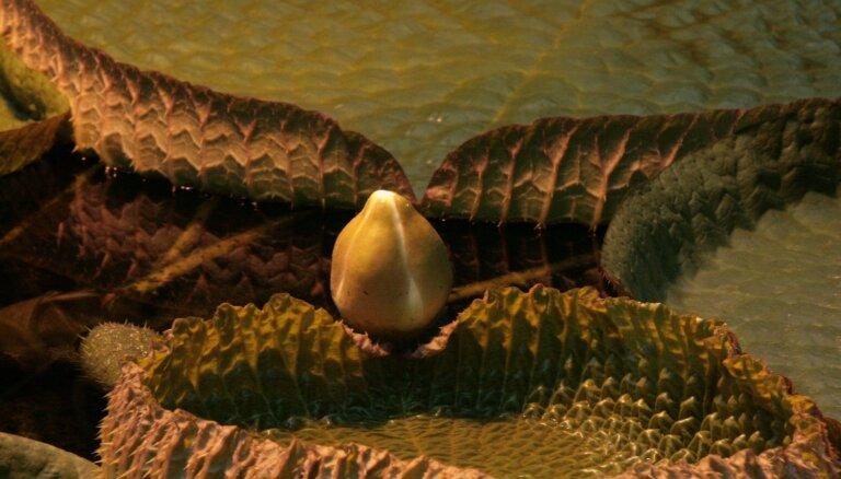 Ilgi gaidīts notikums LU Botāniskajā dārzā – ziedus raisīs milzu ūdensroze