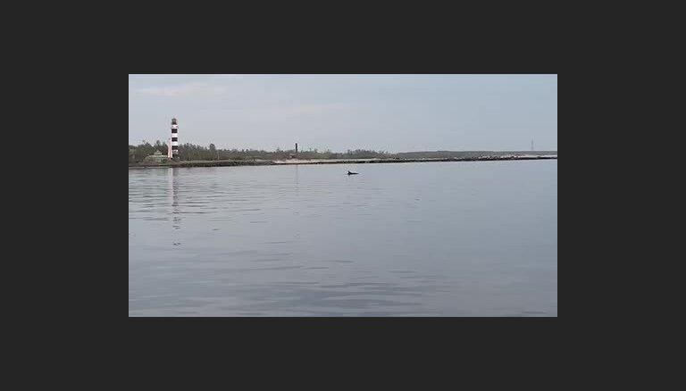 Video: Pie Mangaļsalas mola atkal manīts delfīns