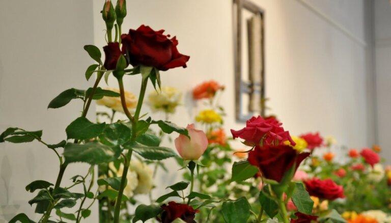 Majestātisko rožu izstāde Rēzeknē ar vairāk nekā 100 šķirnēm