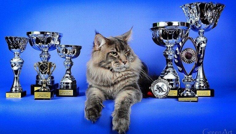 Izstādē par labākā kaķa titulu cīnīsies pašmāju meinkūns Diego – milzīgais skaistulis ar suņa dabu