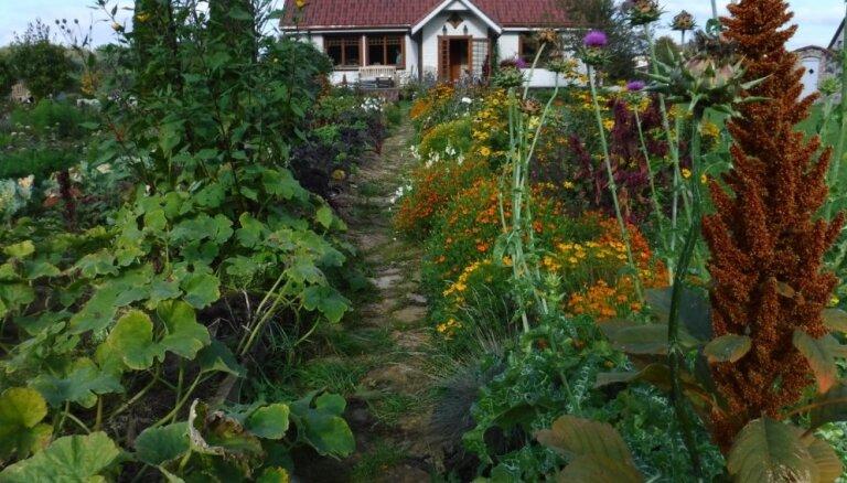No kukurūzas līdz inku gurķiem – paraugdārzs, kā ar entuziasmu izaudzēt neiedomājamo