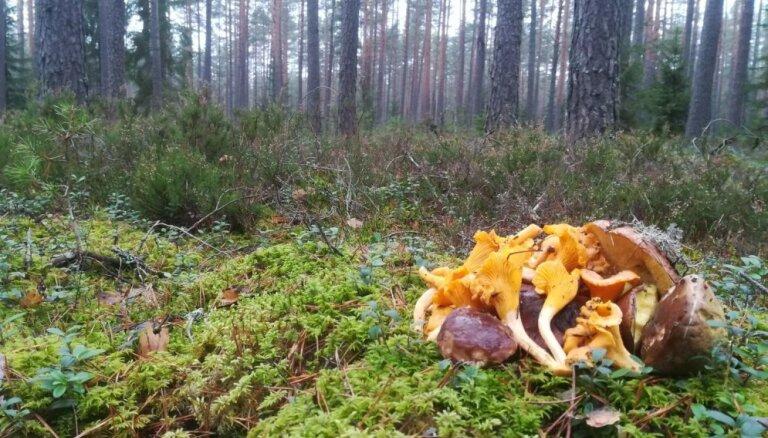 Aculiecinieka foto: Tomes mežos gūts bagāts gaileņu loms