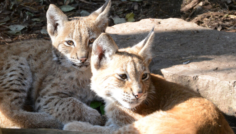 ФОТО. В Рижском зоопарке рысятам дали имена
