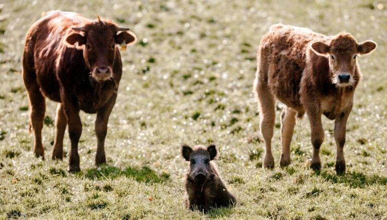 'Zemnieku saeima': Kūlas dedzināšanas apmēri saruktu, ja ganībās būtu vairāk zālēdāju