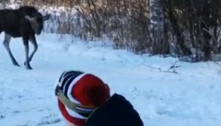 ВИДЕО: В окрестностях Гайзинькалнса к отдыхающим вышел лось