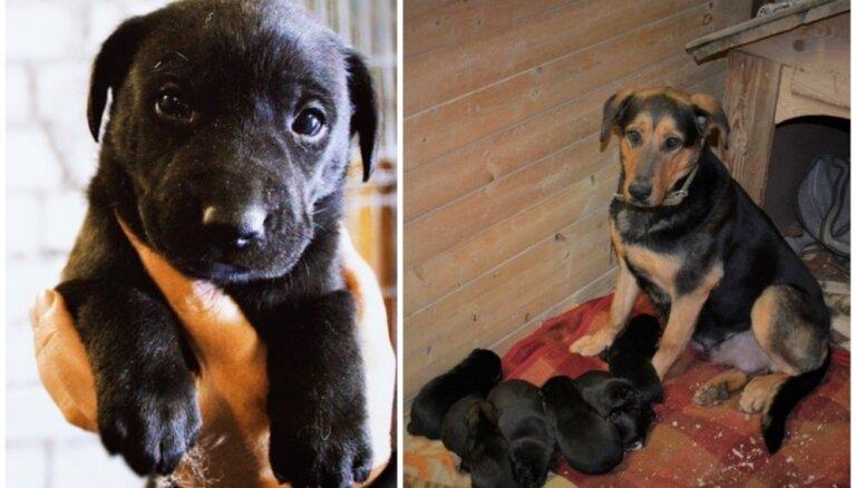 Valmieras dzīvnieku patversmē dzimuši astoņi kucēni; mīluļiem un māmiņai meklē gādīgus saimniekus