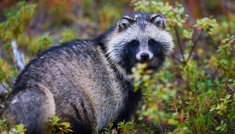Nebeidzamais karš dabā: invazīvās sugas Latvijā