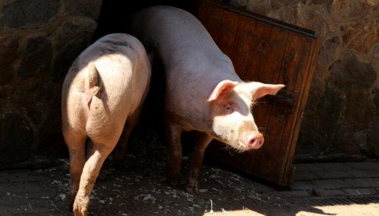 Nelielā saimniecībā Saldus pagastā konstatēts Āfrikas cūku mēris