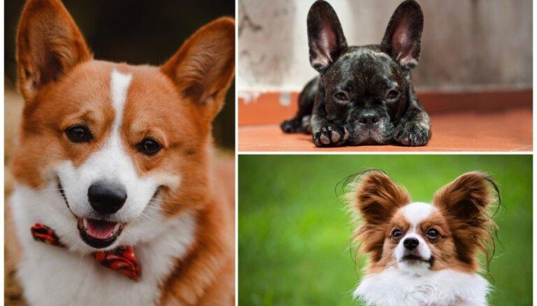 Kā sikspārnim vai taurenim? Septiņi suņi ar mīlīgi stāvām austiņām