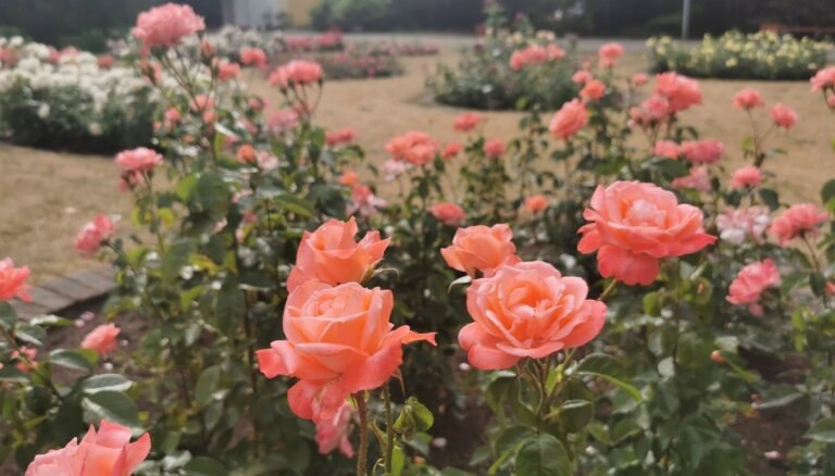Foto: Bulduru Dārzkopības vidusskolā skaisti zied rozes