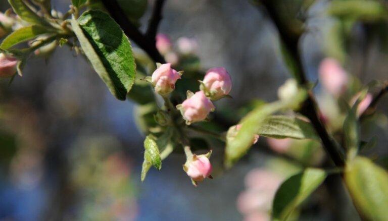 Brīdina augļkopjus par ābelēm bīstamu slimību