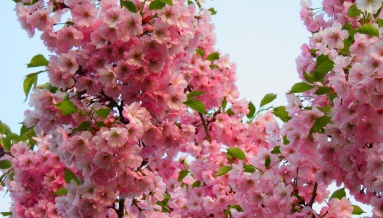 Foto: Rīgā krāšņi zied sakuras