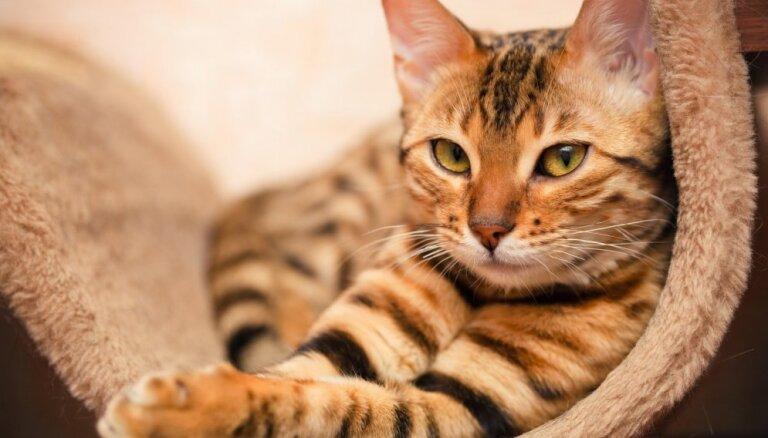 Пять пород кошек, которые удивительно легко поддаются дрессировке