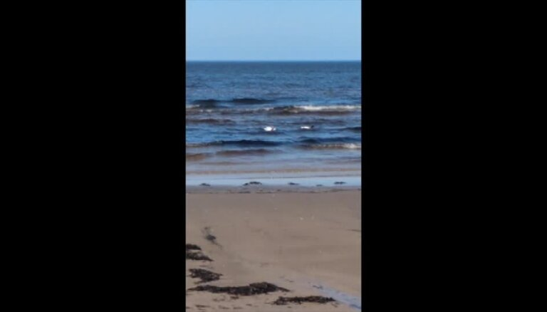 Video: Jūrmalas pludmalē novēro Latvijā reto Sāmsalas dižpīļu pārīti