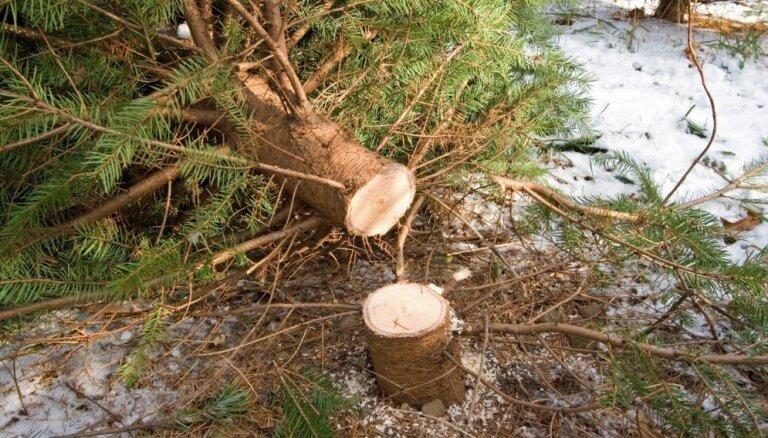 Рождество близится: рижане массово начали вырубать елки там, где это запрещено