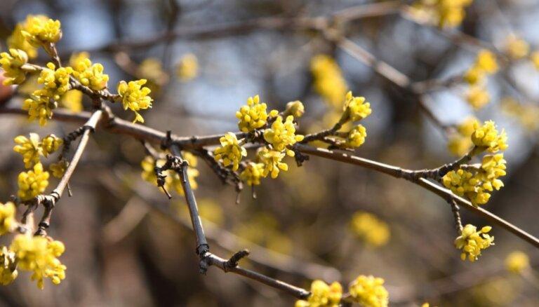 Aicina uz pavasara saulgriežu svinībām Pokaiņu mežā