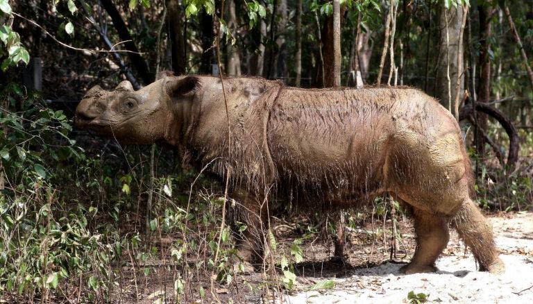 Miris pēdējais Sumatras degunradžu tēviņš Malaizijā