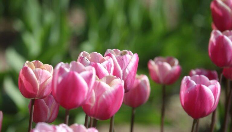 Neaizmirst par ravēšanu un ziedu nogriešanu: darāmie darbi tulpju dobēs