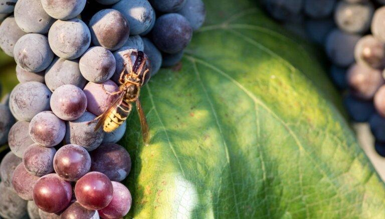 Ieteikumi sevis pasargāšanai no lapseņu un iršu kodumiem un to bīstamajām sekām