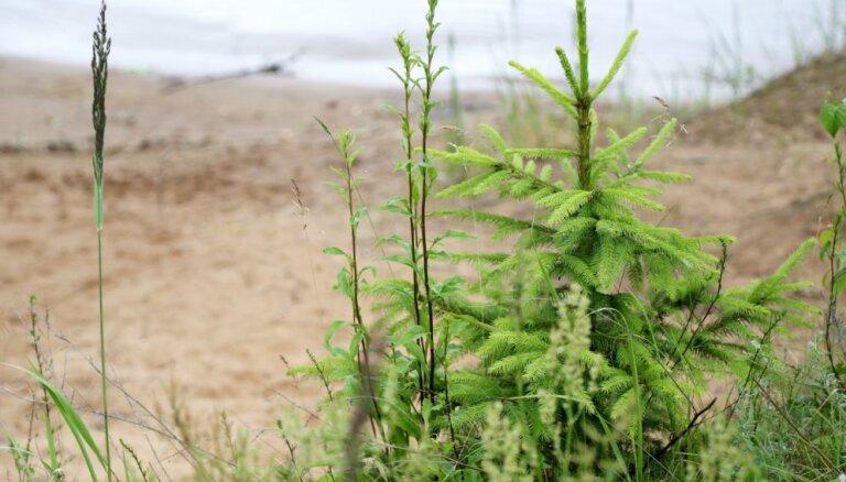 'Rīgas meži' konstatējuši masveidīgu egļu jaunaudžu bojāšanu