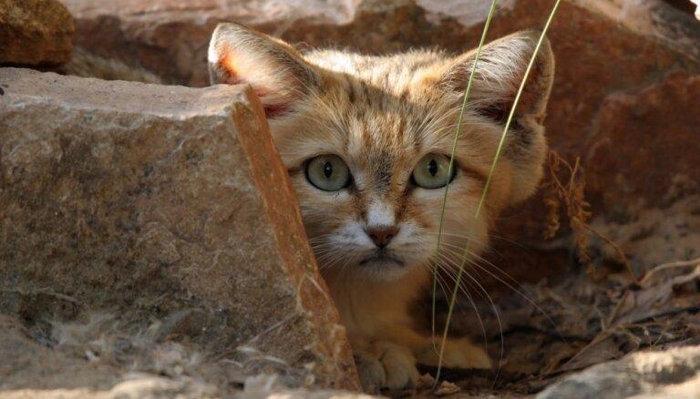 Četri ārkārtīgi skaisti savvaļas kaķi, kurus mājoklī neredzēsi