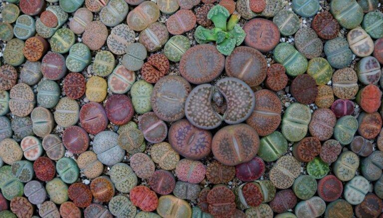 Dzīvie akmeņi litopši piemēroti slinkajiem dārzniekiem: kā skaistos augus audzēt un kopt