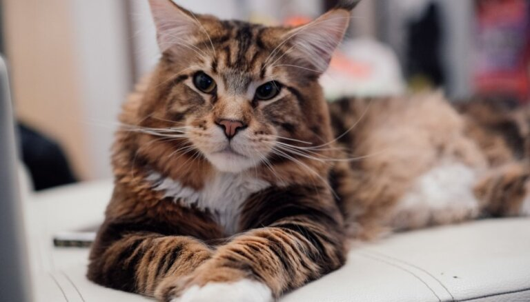 Nedēļas nogalē izstādē Rīgā pulcēsies retu šķirņu kaķi