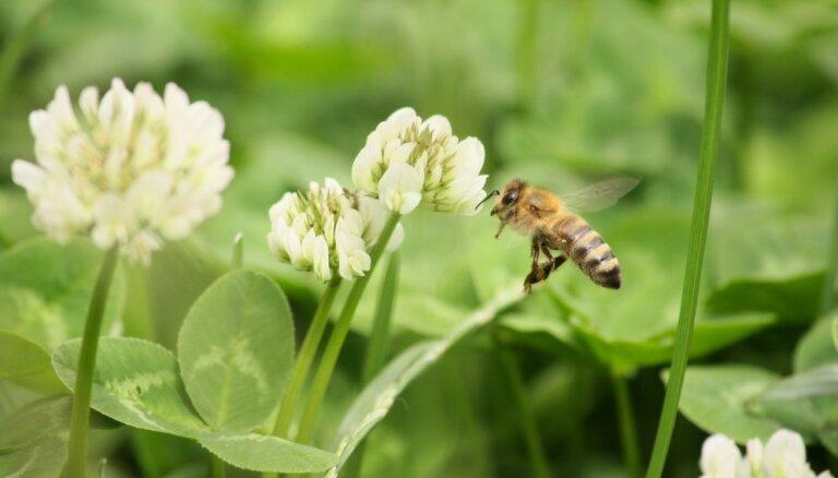 Белый клевер: легко посадить, сложно забыть, невозможно избавиться