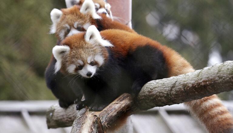 Rīgas Nacionālajā zooloģiskajā dārzā sākušies Sarkano pandu mājas būvdarbi
