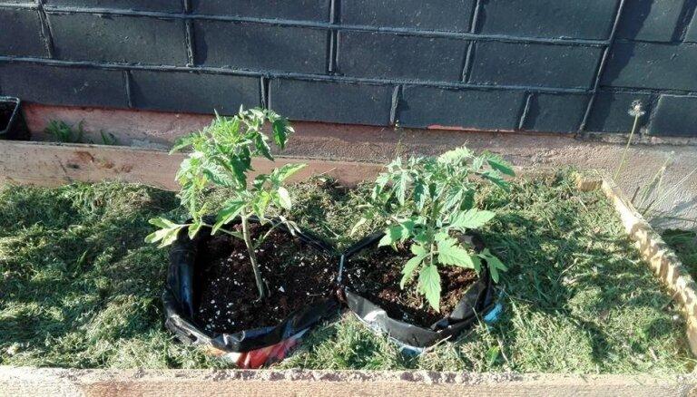 Dezinficēt vai nē: ko darīt ar pērnā gada tomātu kastēm un spaiņiem