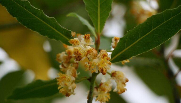 ФОТО. В Ботаническом саду ЛУ распустился лавр благородный
