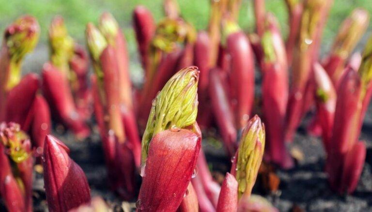 Peoniju kopšana pavasarī: darāmie darbi auga uzfrišināšanai