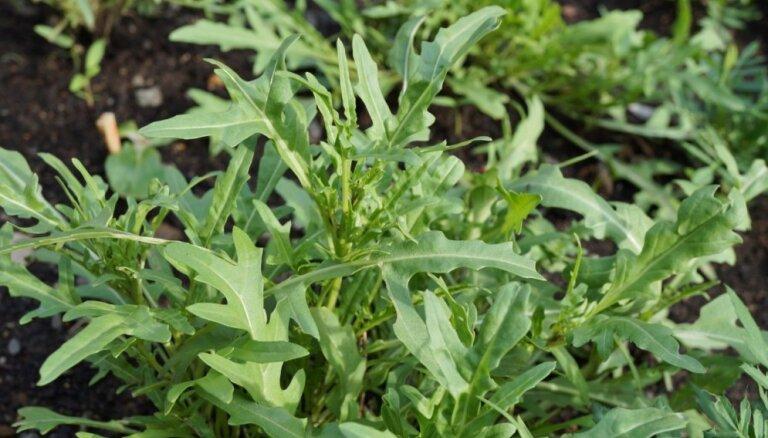 Lapu salātu konkurente rukola – kā izaudzēt brangas lapiņas