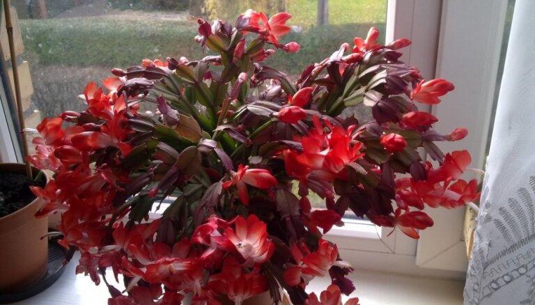 Lasītāja pieredze: kā kopt Ziemassvētku kaktusu, lai tas priecētu ar krāšņu ziedēšanu