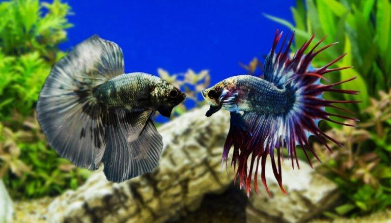 Ko darīt, ja gribas zivtiņai gailītim uzdāvināt draugu