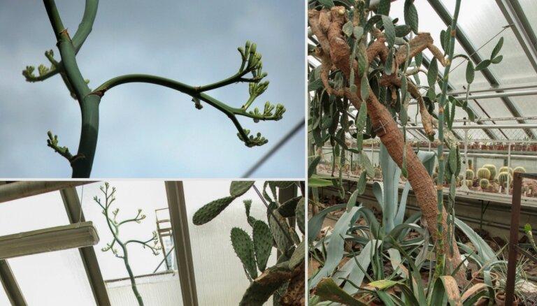 LU Botāniskajā dārzā ziedēs retums – Vēbera agave, kas izaugusi cauri siltumnīcas jumtam