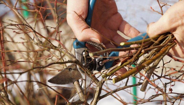 Video: Kā pavasarī apgriezt krūmmellenes