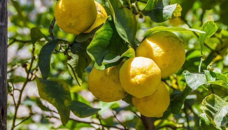 Veselības auglis citrons: kāpēc tas ieteicams un kā to pareizi lietot
