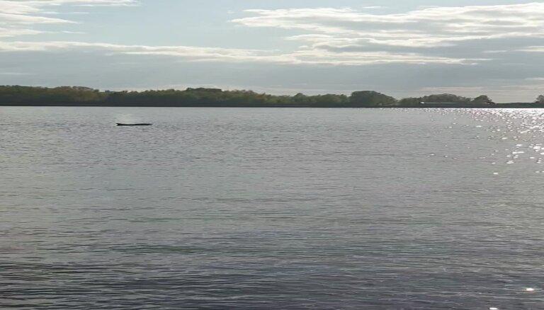 Video: Aculiecinieks fiksē delfīnu pie Mangaļsalas mola