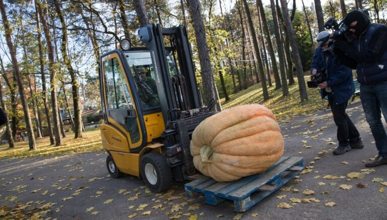 Noskaidrots Latvijas raženākais ķirbis - 232 kilogramus smags milzenis