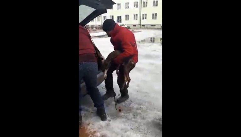 ФОТО, ВИДЕО: В квартире обнаружили двух заморенных голодом стаффордов; одного спасти не удалось