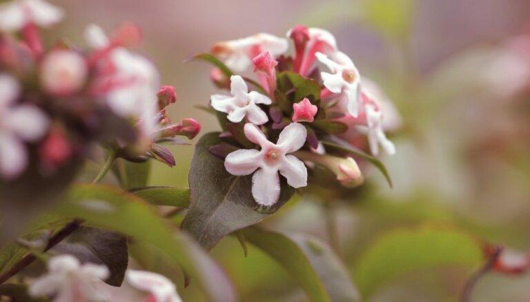 Stādaudzētāju tops: 5 krāšņākie košumkrūmi dārzam