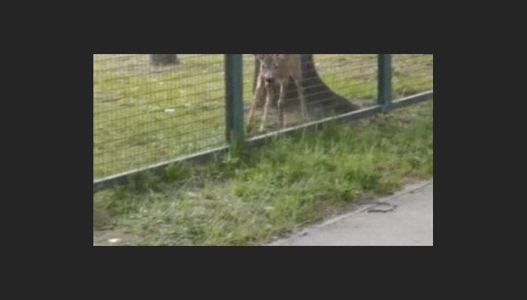 ВИДЕО: В Кенгарагсе на территорию детского сада забежала косуля